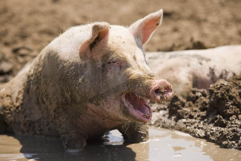 Pig wallowing in his mud
