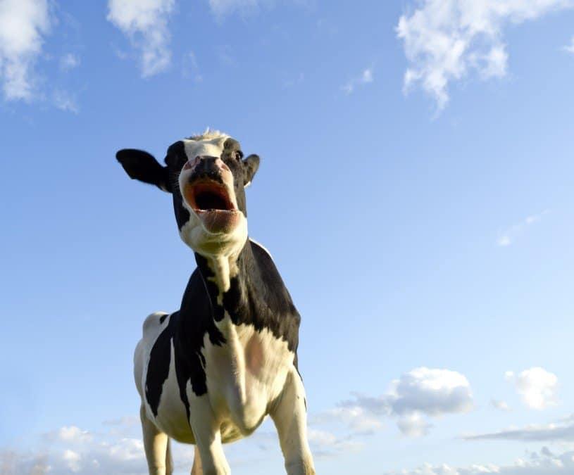 Stubborn cow in international life