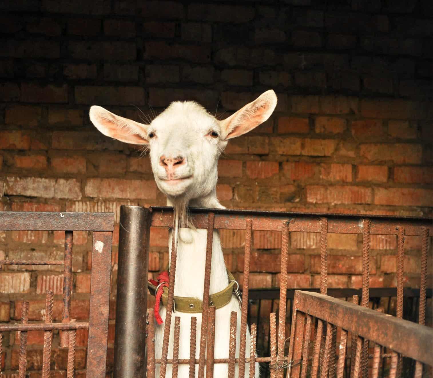goat_barrier_global-skills_barrier_too?