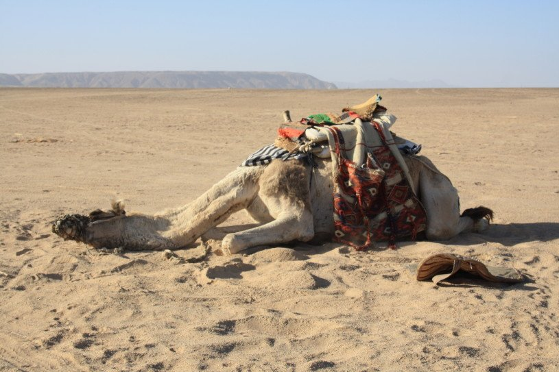 exhausted_camel_expatlife
