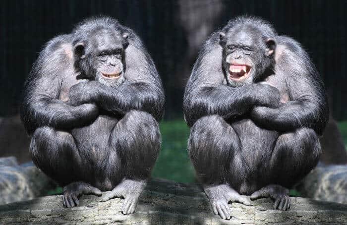 Gorillas having the big talk by Sundae Schneider-Bean