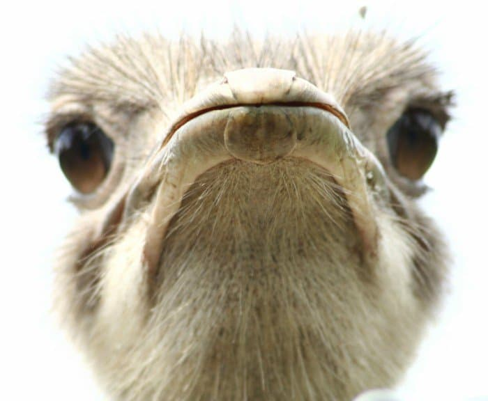Frustrated ostrich: understanding the US election by Sundae Bean